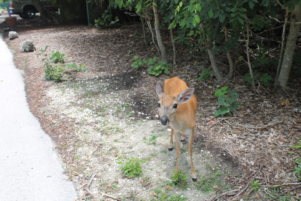 Key Deer op de Florida Keys