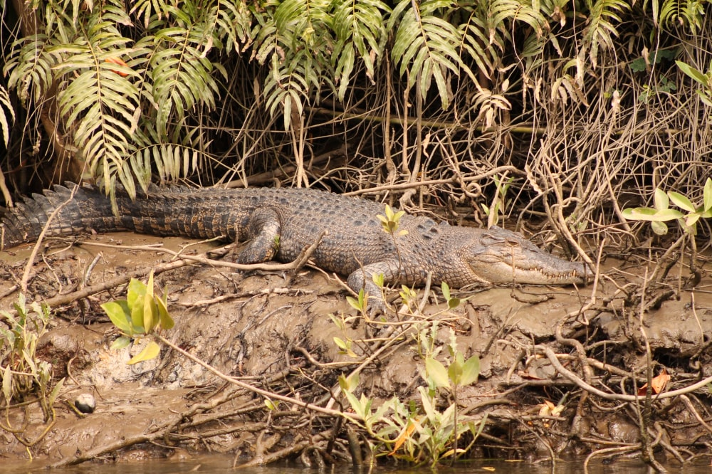 Huge crocodile at the shore of the Daintree River