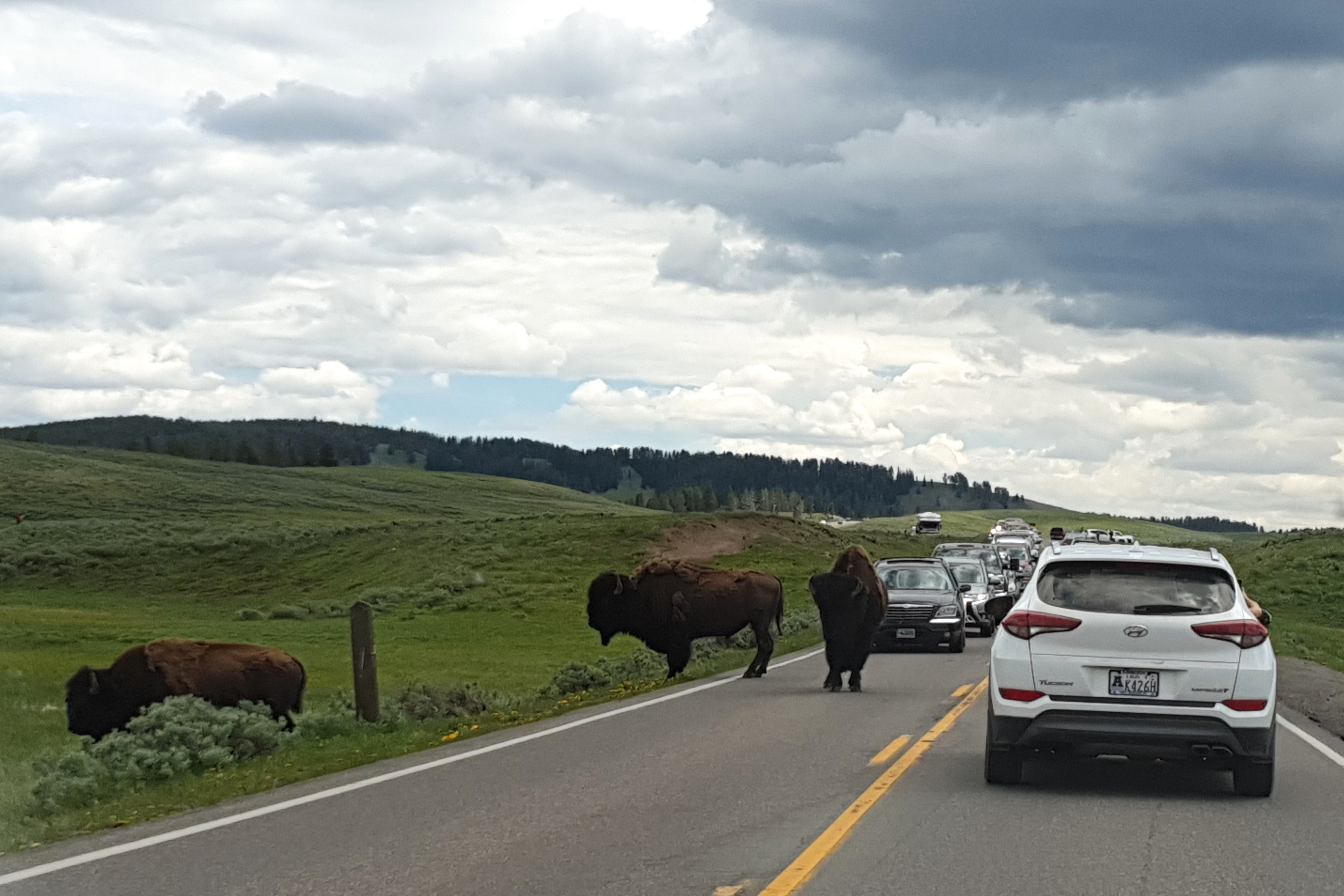 Bison on the road in Hayden Valley