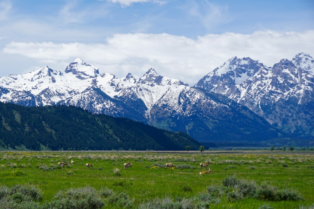 Pronghorns in Grand Teton National Park