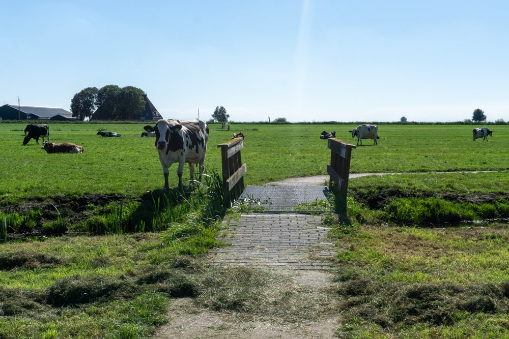 Cycling between the cows