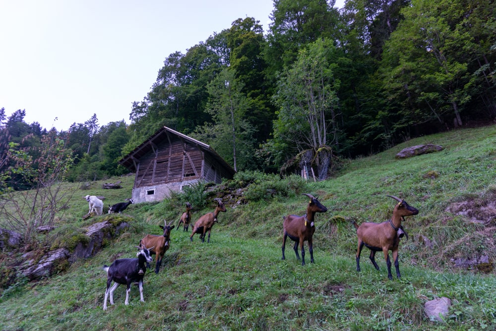 Goats making noise in Lauterbrunnen