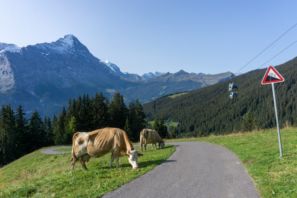 Cows on the trail to Grindelwald First