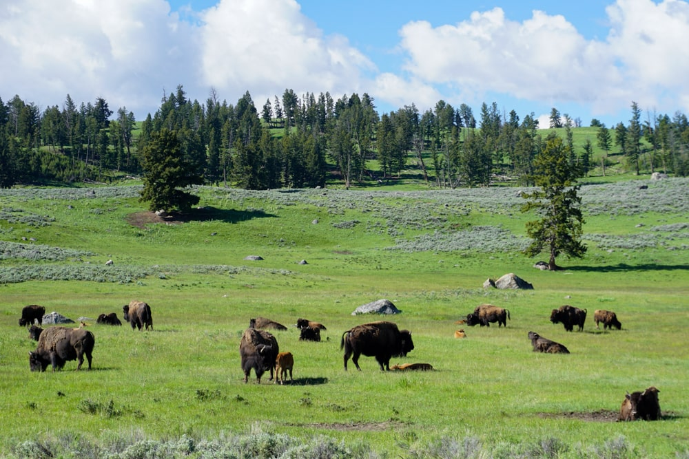 Bisons in Lamar Valley