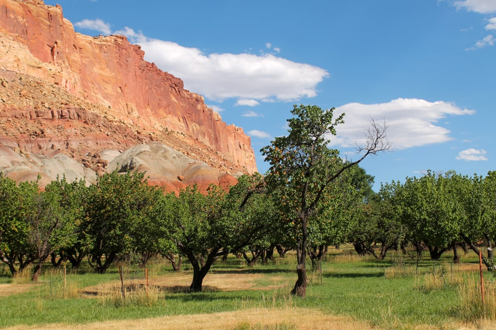 Picking fruit in Capitol Reef National Park