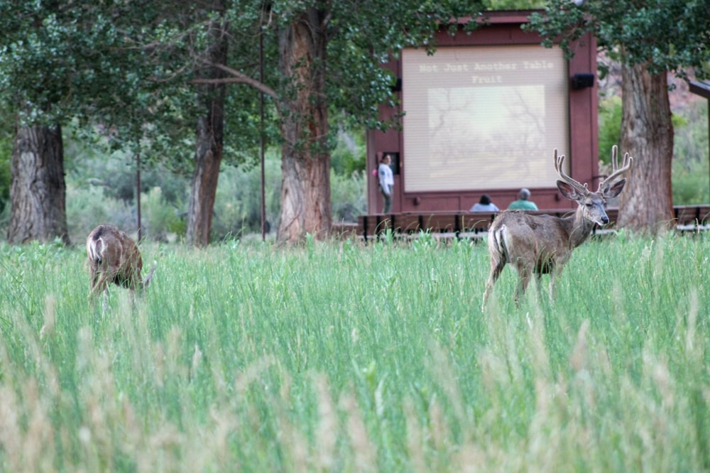 Explanation from the ranger in the amphitheater while deer walk around it